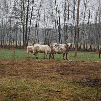 krowy na pastwisku, fot. Szymon