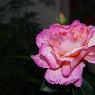 róża krople wody