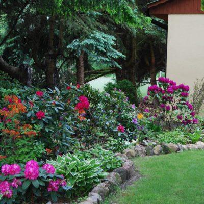 rododendrony przy sali