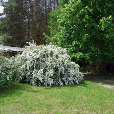 ukwiecone krzewy piwniczka