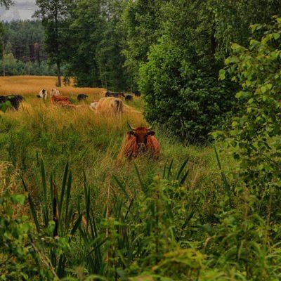 krowy w trawie, fot. Ewa Profaska WNofPh