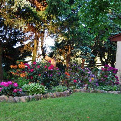 rododendrony w rozkwicie