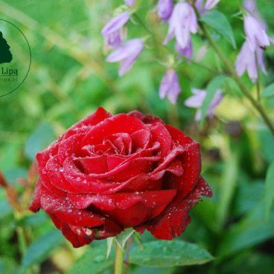 róża po deszczu