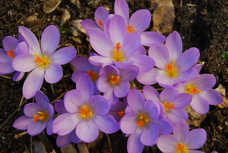 wiosenne kwiatki krokusy